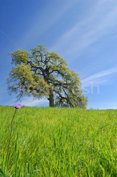 Roble primavera hierba primer plano cielo verano Foto stock © marcopolo9442