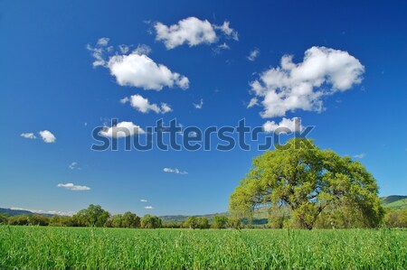 oak tree in spring Stock photo © marcopolo9442