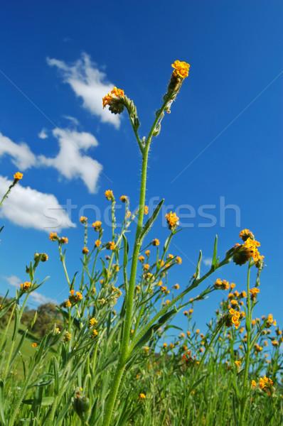 могущественный цветок весна весны Полевые цветы растущий Сток-фото © marcopolo9442