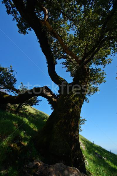 Mt Tamaplais Tree Stock photo © marcopolo9442