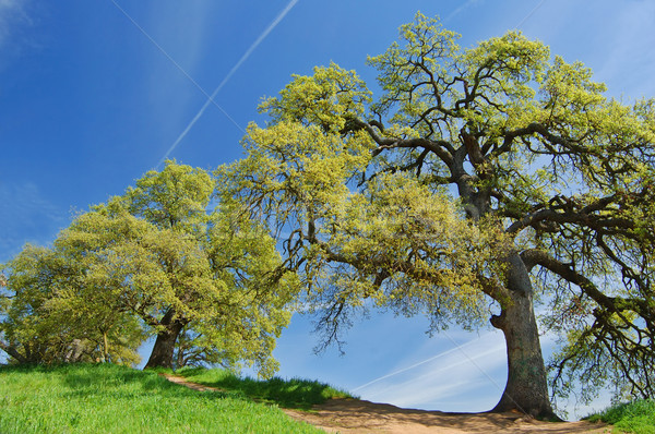 oak trees in spring Stock photo © marcopolo9442