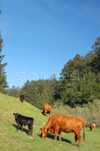 cows in a field Stock photo © marcopolo9442