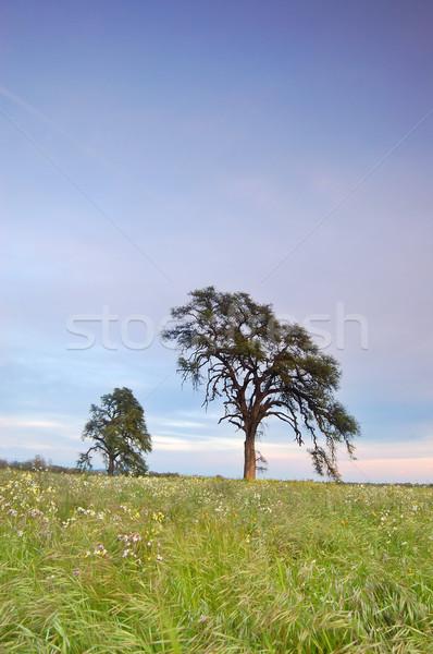 Bahar çayır akşam ağaçlar altın bitki Stok fotoğraf © marcopolo9442