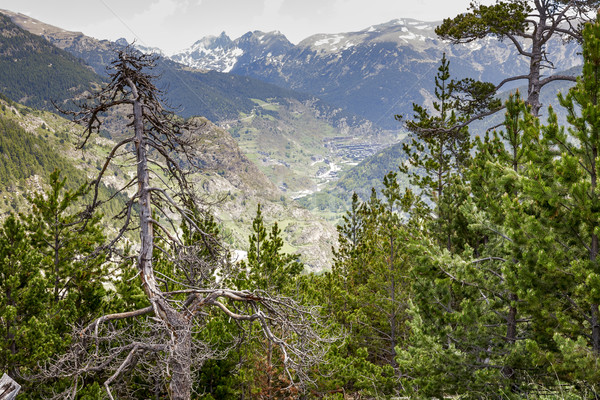 Dry tree at the Pyrenees  Stock photo © marekusz