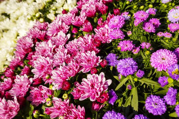 Flowers asters  Stock photo © marekusz