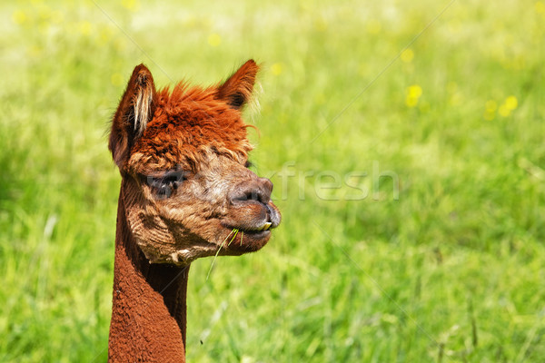 A alpaca eats a blade of green grass Stock photo © marekusz