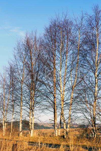 Several birches Stock photo © marekusz