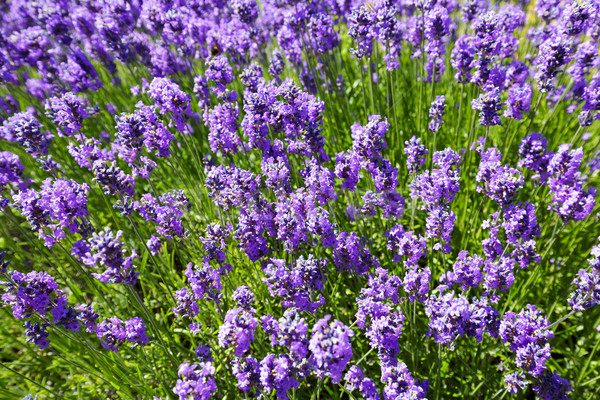Lavender flowers Stock photo © marekusz