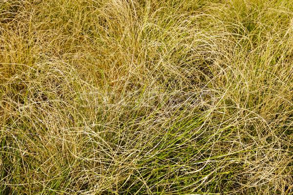 Kuru çim çayır doku doğa model Stok fotoğraf © marekusz