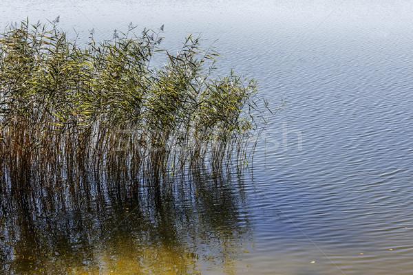 Reed plants at the shore of Czos lake Stock photo © marekusz