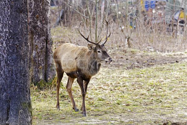 The deer next to trees  Stock photo © marekusz