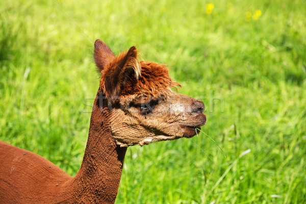 Alpaca lama erba erba verde natura capelli Foto d'archivio © marekusz