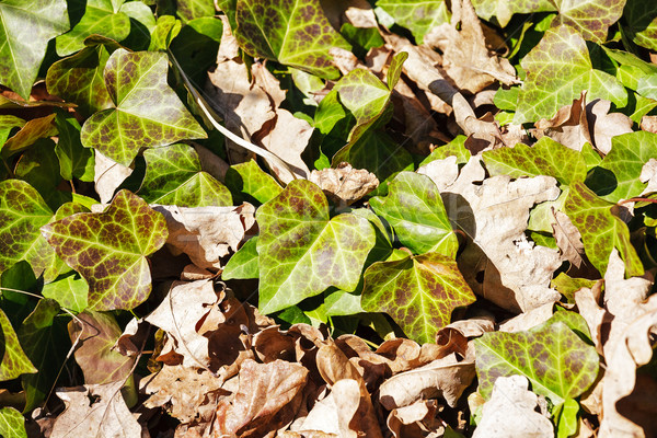Ivy grows on a spring ground Stock photo © marekusz