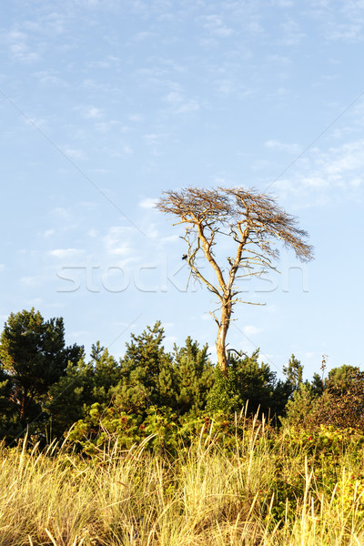 Arbre mort mer baltique côte arbre paysage mer Photo stock © marekusz