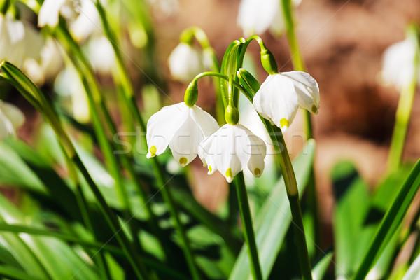 Virág tavaszi virág természet zöld park fehér Stock fotó © marekusz