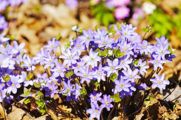 Hepatica blooming in a forest Stock photo © marekusz