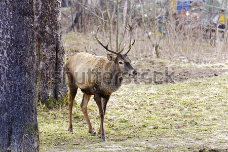 The deer stopped next to trees Stock photo © marekusz