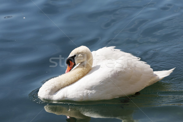 Swan on the river Reuss waters  Stock photo © marekusz