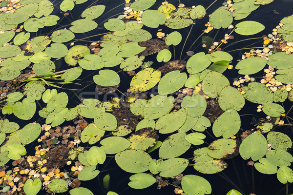 Water lilies at the very end of the summer Stock photo © marekusz