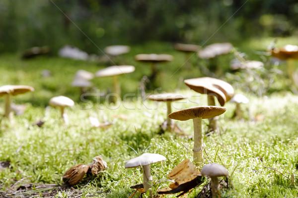 Sauvage champignons croissant forêt étage nature Photo stock © marekusz