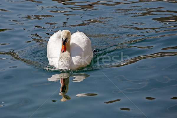 Swan on the Reuss river in Lucerne  Stock photo © marekusz