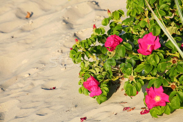 Red beach roses Stock photo © marekusz