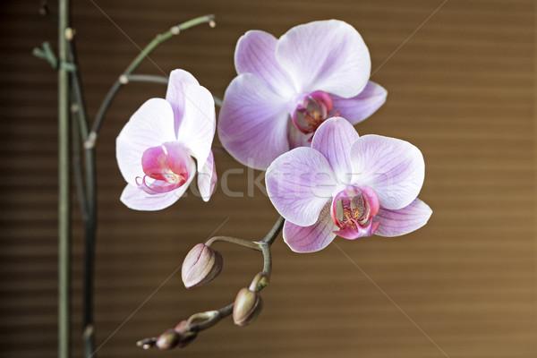 Orchidea virág virágzó gally virágok növény Stock fotó © marekusz