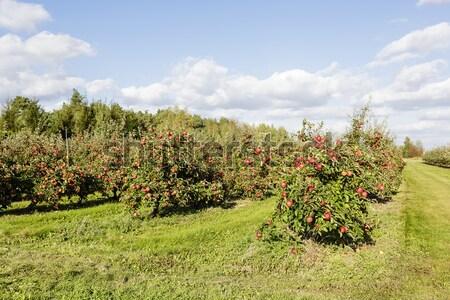Verger de pommiers ensoleillée été jour ciel paysage Photo stock © marekusz