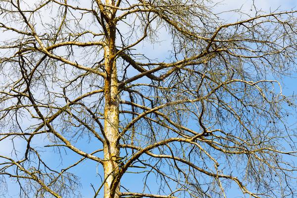 Upper branches of a tree Stock photo © marekusz