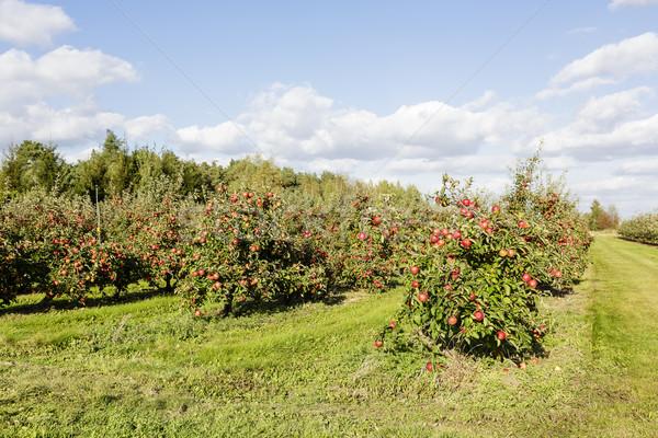 Photo stock: Verger · de · pommiers · ensoleillée · été · jour · ciel · paysage