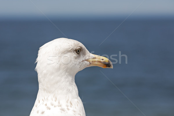 The seagulls head  Stock photo © marekusz