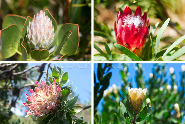 Set of four photos of beautiful King Protea Stock photo © Margolana