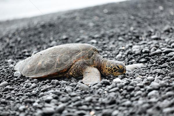 Tartaruga mar praia grande Foto stock © Maridav