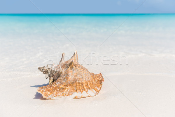 Beach shell ocean conch copyspace background Stock photo © Maridav