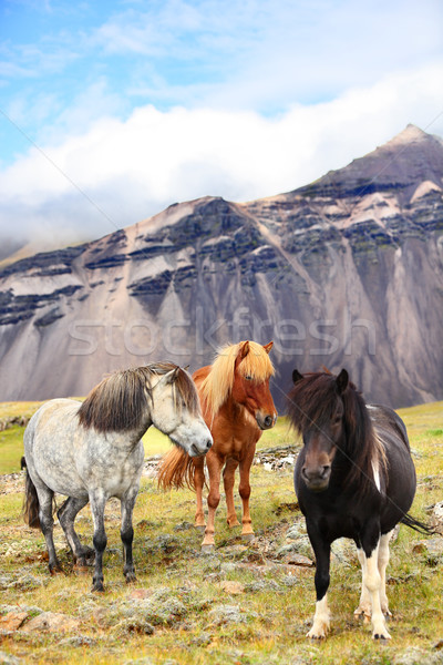 Icelandic Horses on Iceland nature landscape Stock photo © Maridav
