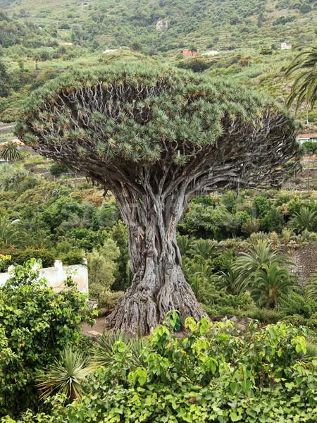 Dragon arbre tenerife célèbre Espagne Photo stock © Maridav