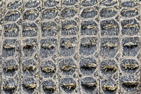 Texture background of Crocodile alligator skin Stock photo © Maridav