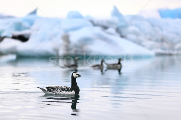 Iceland nature - birds at Jokulsarlon  Stock photo © Maridav