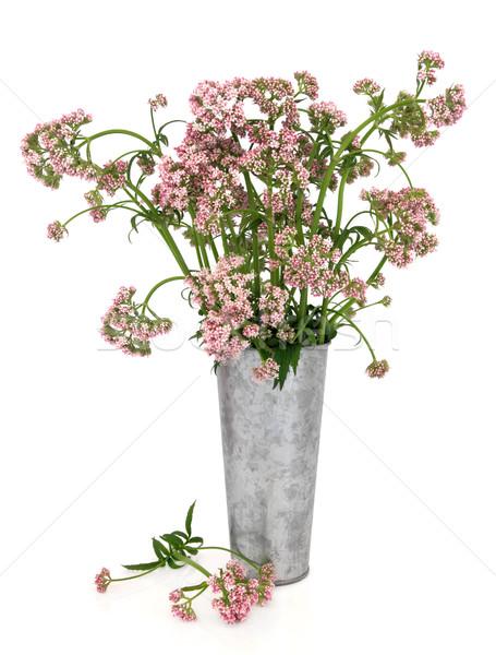 Stock photo: Valerian Herb Flowers