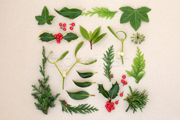 Natural Winter Leaves and Holly Berries Stock photo © marilyna