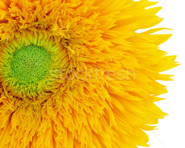Summer Sunflower   Stock photo © marilyna