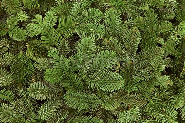 Blue Spruce Fir Stock photo © marilyna