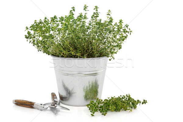 Pruning Thyme Herb Plant  Stock photo © marilyna