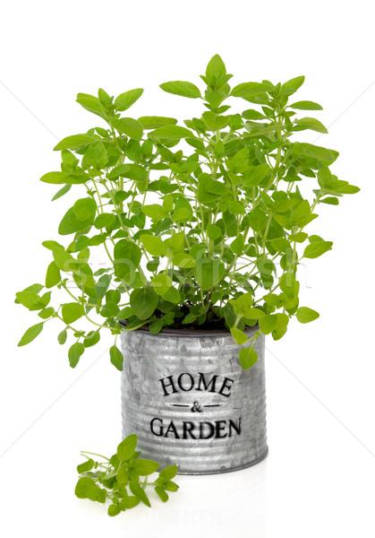 Orégano erva planta crescente velho metal Foto stock © marilyna
