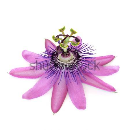 Passion Flower Stock photo © marilyna
