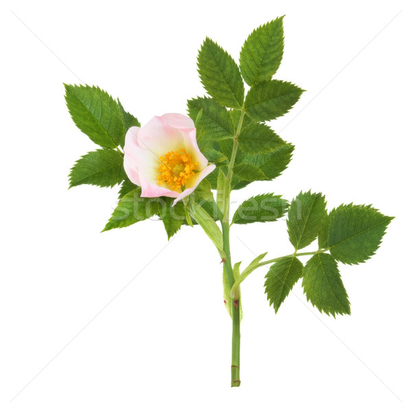 Wild Rose Flower Stock photo © marilyna