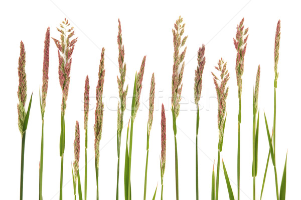 Meadow Grass Stock photo © marilyna