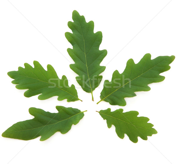 Oak Leaves Stock photo © marilyna