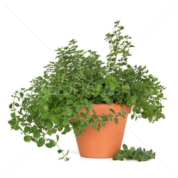Oregano Herb Plant Stock photo © marilyna