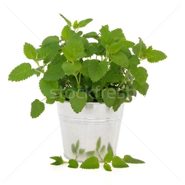 Citrom balzsam gyógynövény növény alumínium edény Stock fotó © marilyna